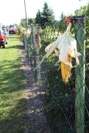 Dożynki Gminne Święcia 2011: Zdjęcie przedstawia kolbę kukurydzy zawieszonej na ogrodzeniu